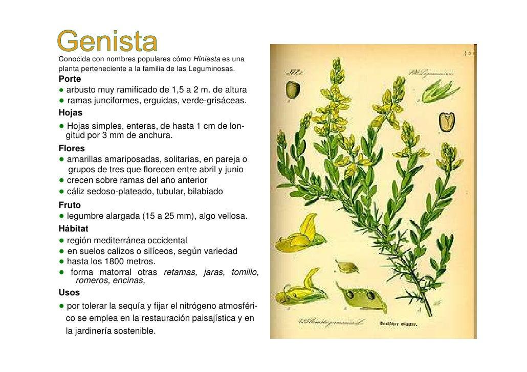 Genista Slide 2