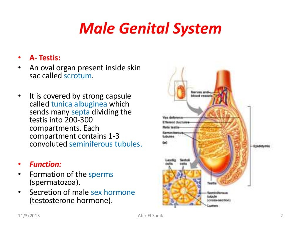 Genital System Anatomy