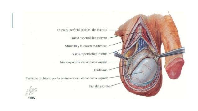 anatomia de los genitales externos e internos masculinos