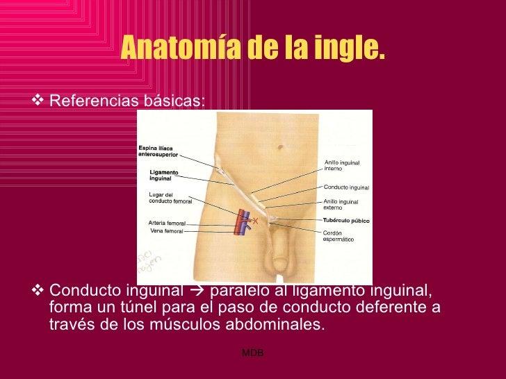 Único Nervios De La Ingle Anatomía Cresta - Anatomía de Las ...