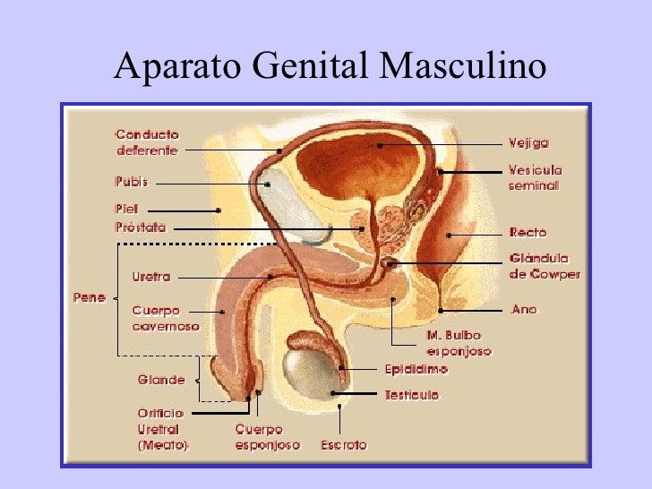 Magnífico Anatomía De Imágenes Del Sistema Reproductor Femenino ...