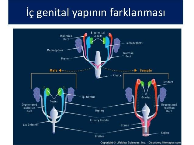 Genital Sistem Embryolojisi (Prof.Dr. İsmail Hakkı NUR)
