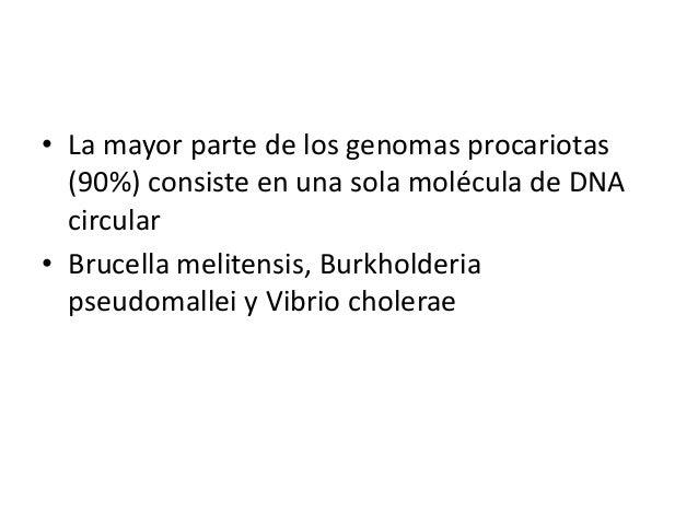 • La mayor parte de los genomas procariotas (90%) consiste en una sola molécula de DNA circular • Brucella melitensis, Bur...