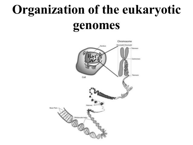 Organization of the eukaryotic genomes