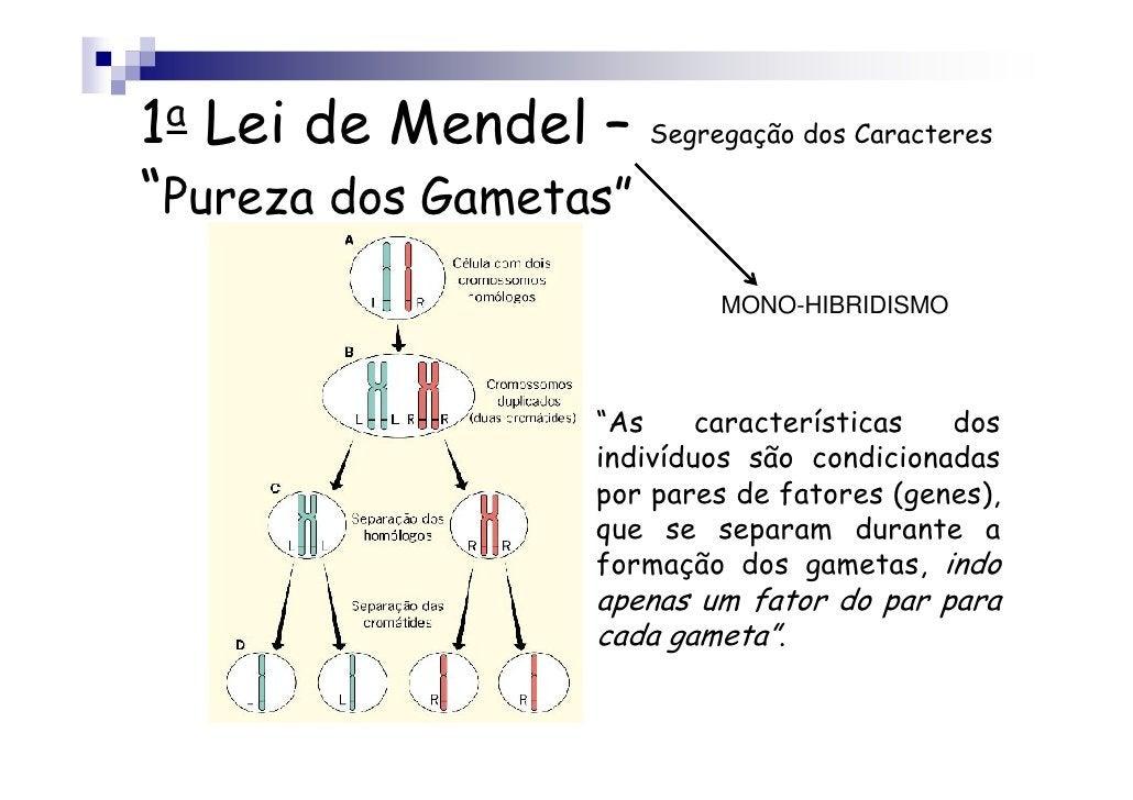 """1a Lei de Mendel – Segregação dos Caracteres""""Pureza dos Gametas""""                               MONO-HIBRIDISMO            ..."""