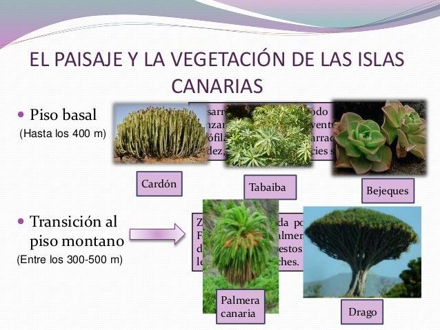 Geografia la vegetaci n de las zonas monta osas y el for Pisos de vegetacion canarias