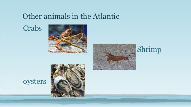 Georgia habitats atlantic ocean other animals in the atlantic crabs shrimp oysters sciox Choice Image