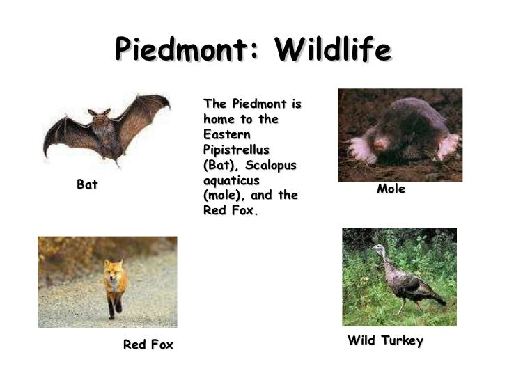 Piedmont: Wildlife Wild Turkey  Bat Red Fox Mole The Piedmont is home to the Eastern Pipistrellus  (Bat), Scalopus aquatic...