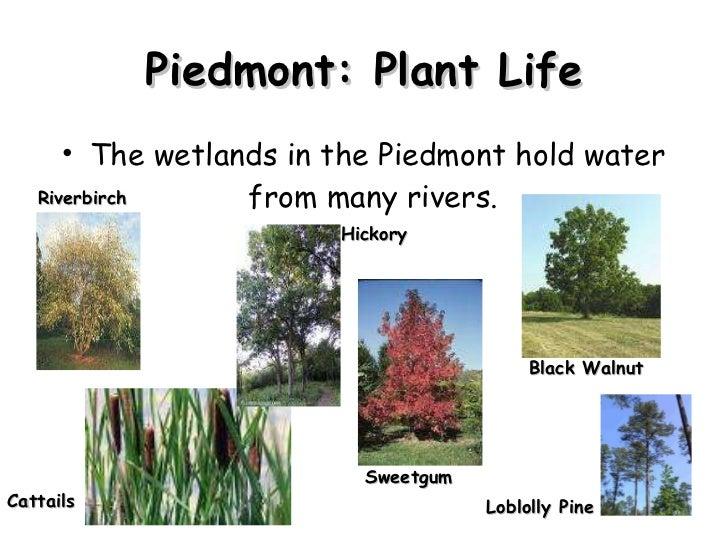 Piedmont: Plant Life <ul><li>The wetlands in the Piedmont hold water from many rivers.  </li></ul>Loblolly Pine Black Waln...
