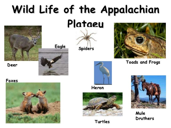 Wild Life of the Appalachian Plataeu Deer Eagle Spiders Toads and Frogs Heron Mule Druthers Turtles Foxes