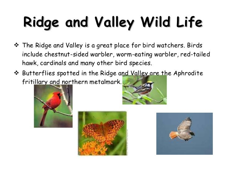 Ridge and Valley Wild Life <ul><li>The Ridge and Valley is a great place for bird watchers. Birds include chestnut-sided w...