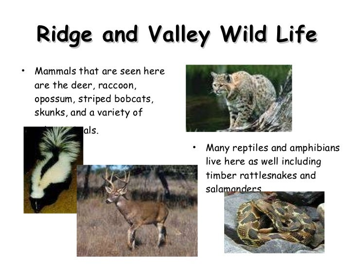 Ridge and Valley Wild Life <ul><li>Mammals that are seen here are the deer, raccoon, opossum, striped bobcats, skunks, and...
