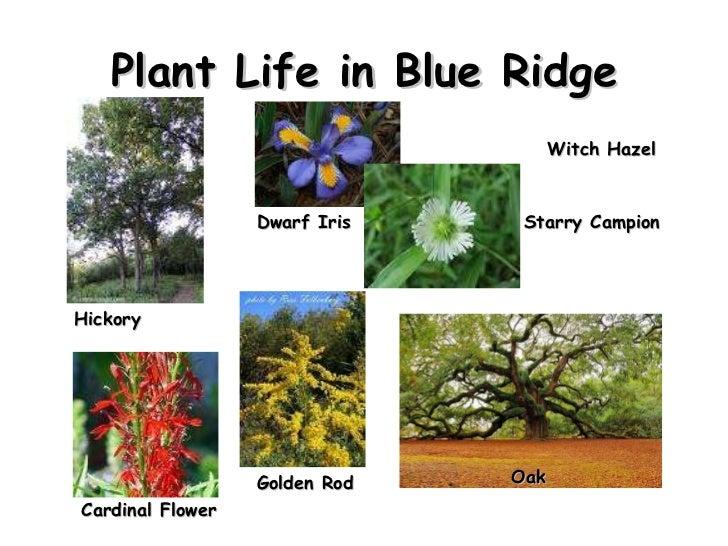 Plant Life in Blue Ridge Hickory  Oak Dwarf Iris Starry Campion Cardinal Flower Witch Hazel Golden Rod