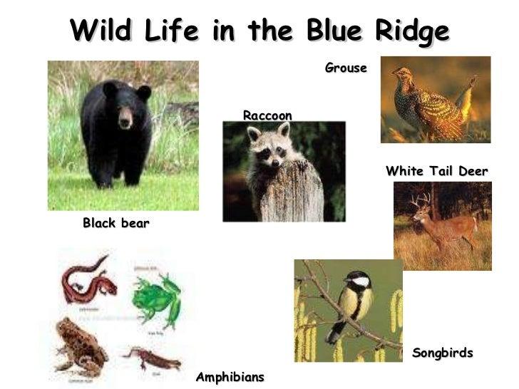 Wild Life in the Blue Ridge Black bear Amphibians  Songbirds White Tail Deer Grouse Raccoon