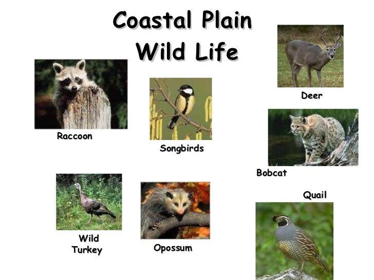 Coastal Plain  Wild Life Raccoon Songbirds Bobcat  Deer Wild Turkey  Opossum Quail