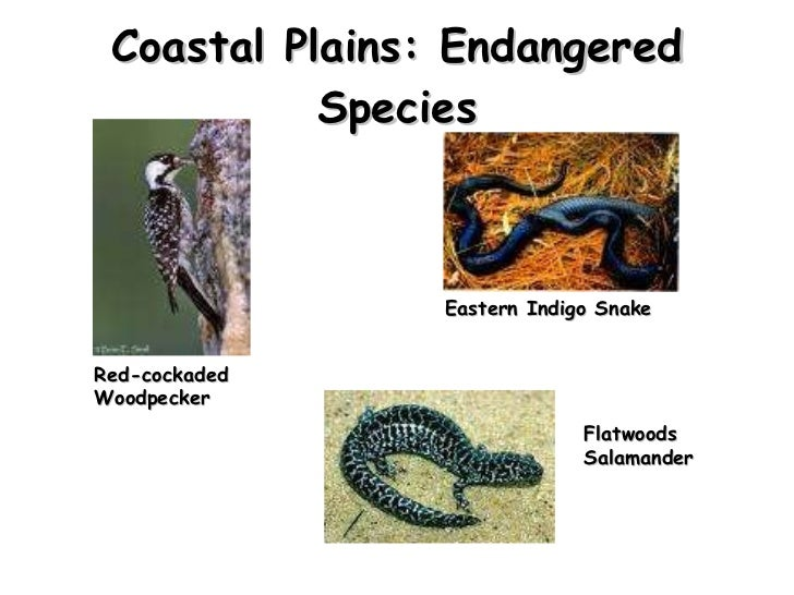 Coastal Plains: Endangered Species Red-cockaded Woodpecker  Flatwoods Salamander  Eastern Indigo Snake