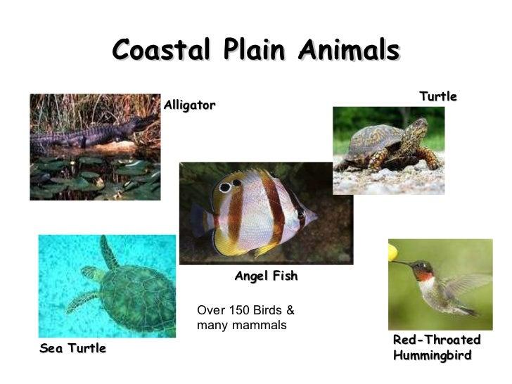 Coastal Plain Animals Alligator Angel Fish  Red-Throated Hummingbird Turtle Sea Turtle  Over 150 Birds & many mammals