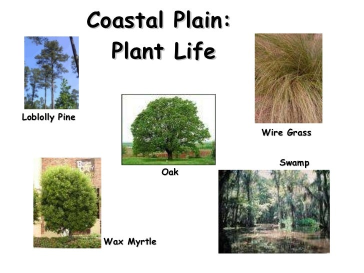 Coastal Plain:  Plant Life Loblolly Pine  Oak Wax Myrtle  Wire Grass  Swamp