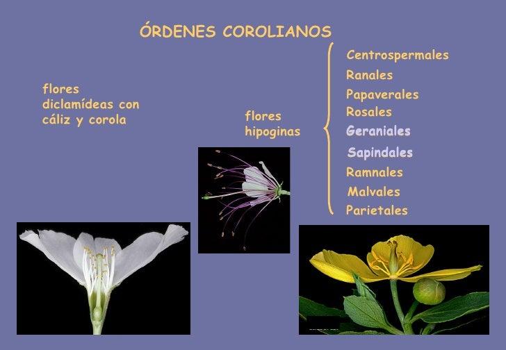 flores diclamídeas con cáliz y corola ÓRDENES COROLIANOS flores hipoginas Geraniales Sapindales Centrospermales Ranales Pa...