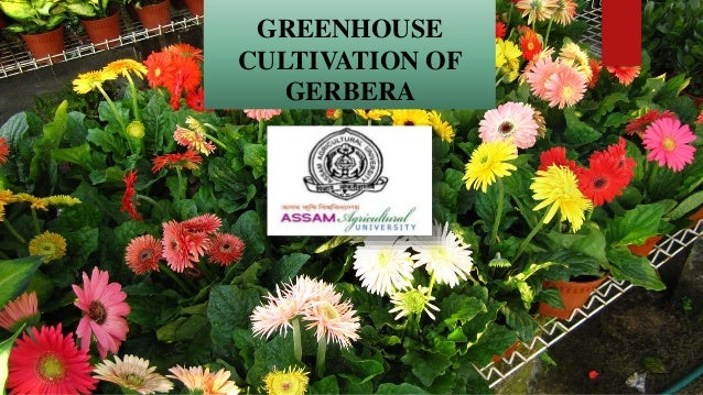 GREENHOUSE CULTIVATION OF GERBERA