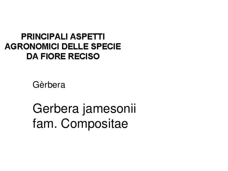 GèrberaGerbera jamesoniifam. Compositae