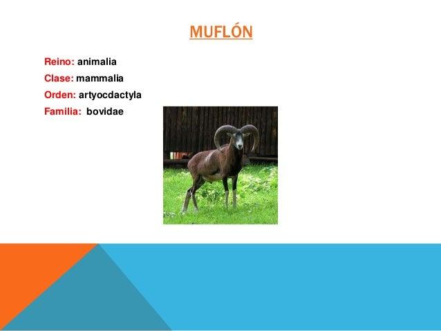 MUFLÓN Reino: animalia Clase: mammalia Orden: artyocdactyla Familia: bovidae