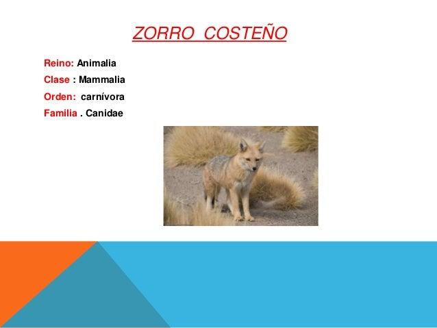 ZORRO COSTEÑO Reino: Animalia Clase : Mammalia Orden: carnívora Familia . Canidae