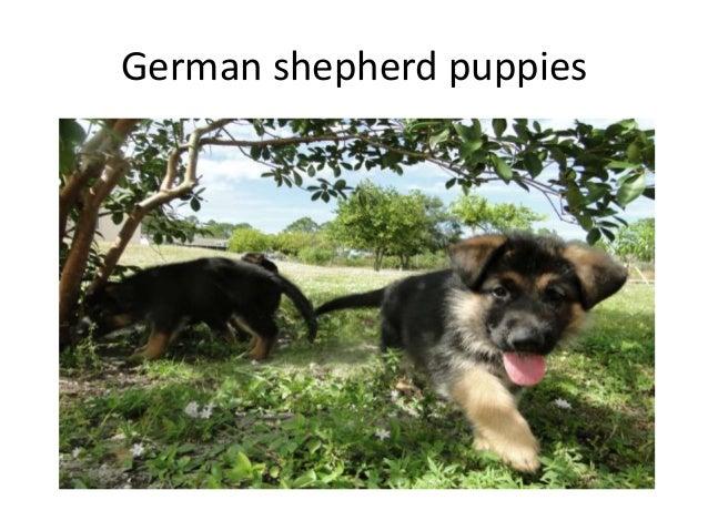 German shepherd breeder in Florida