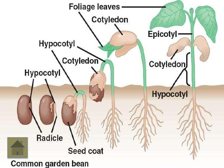 corn seed germination diagram enthusiast wiring diagrams u2022 rh rasalibre co seed germination labeled diagram grass seed germination diagram