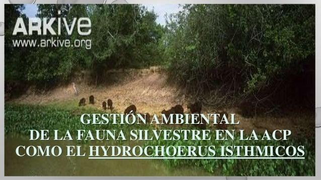 GESTIÓN AMBIENTAL DE LA FAUNA SILVESTRE EN LAACP COMO EL HYDROCHOERUS ISTHMICOS