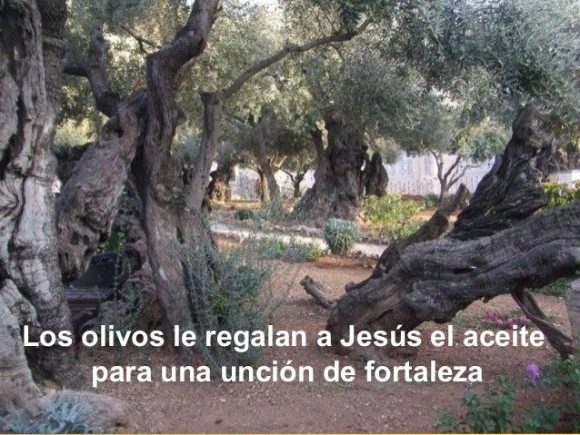 Los olivos le regalan a Jesús el aceite para una unción de fortaleza