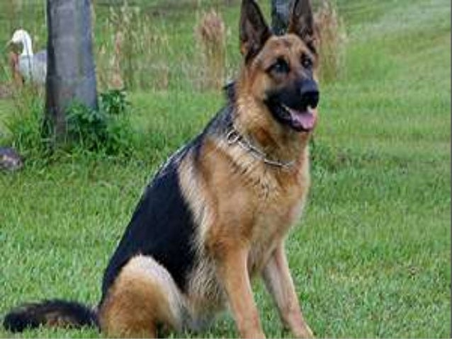 german shepherd dogs essay Training spotlight jacob, an aggressive german shepherd follow one owner's experience as she trains a dog that she thought was untrainable.