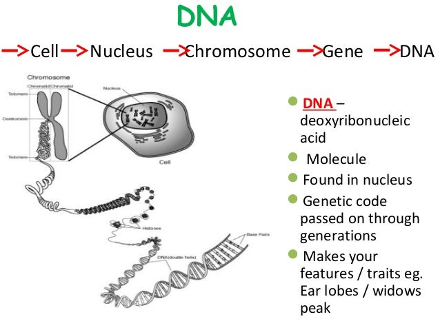 Getting into genes slideshare copy – Chromosome Worksheet