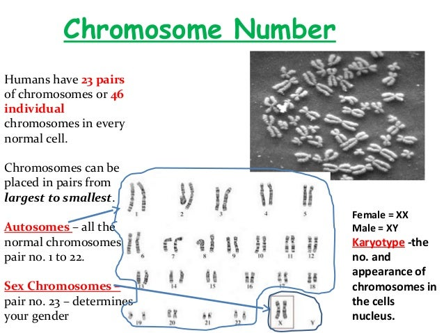 number of sex chromosomes and autosomes in human cells how many chromosomes in Allentown