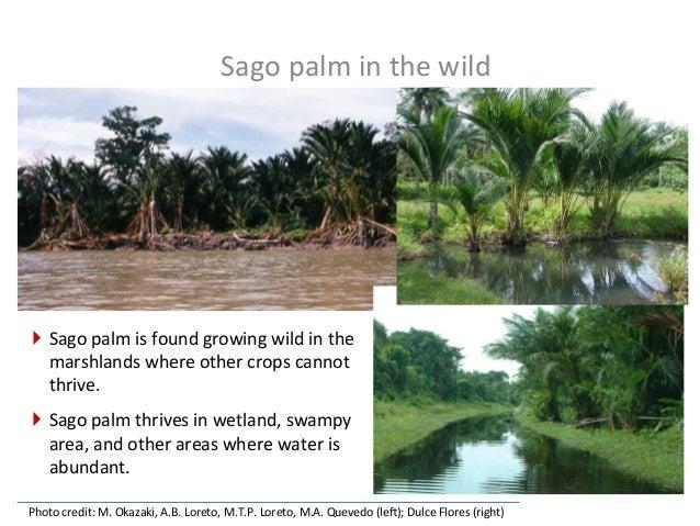 Sago  palm  –  the  robust  crop   Photo  credit:  M.  Okazaki,  A.B.  Loreto,  M.T.P.  Loreto,...