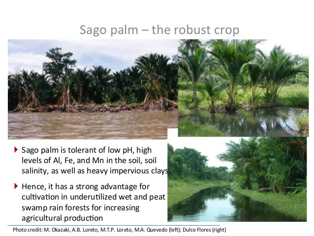 Geographical  distribu.on  of  sago  palms   Most  of  the  2.6  million  ha  of  sago  palm  ...