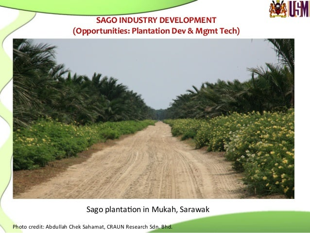 Sago  planta.on  in  Mukah,  Sarawak   Photo  credit:  Abdullah  Chek  Sahamat,  CRAUN  Research  ...