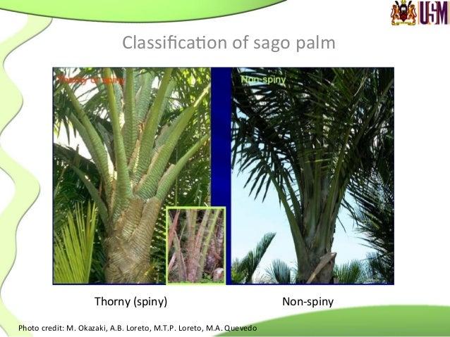 The  Sago  palm   Photo  credit:  M.  Okazaki,  A.B.  Loreto,  M.T.P.  Loreto,  M.A.  Quevedo  ...
