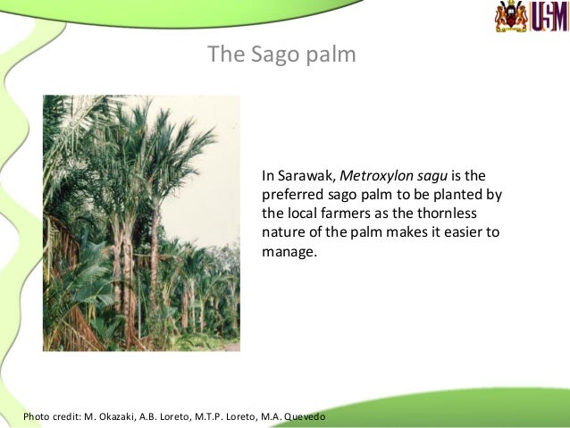 Sago  trunks  produces  an  erect   trunk  and  may  reach  7  to  15  m   in  length  and ...