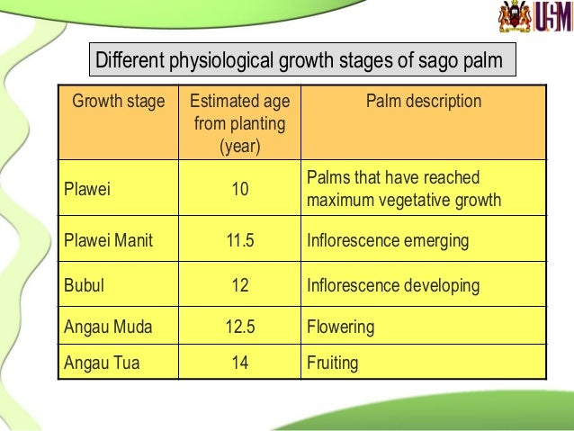 Sago  palm  at  different  growth  stages   Angau Tua stage Plawei stage Angau Muda stage