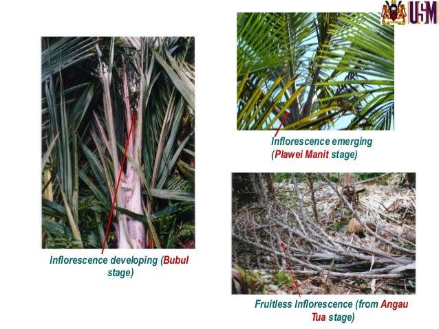 Sago  palm  (growth  stages)   Photo  credit:  Dulces  Flores