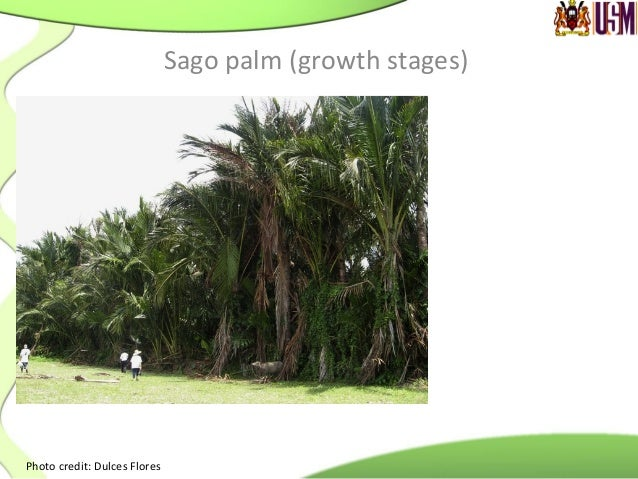 Total starch content of sago pith from different growth stages Growth stage Height Starch content (%) Plawei Base Mid 24.9...