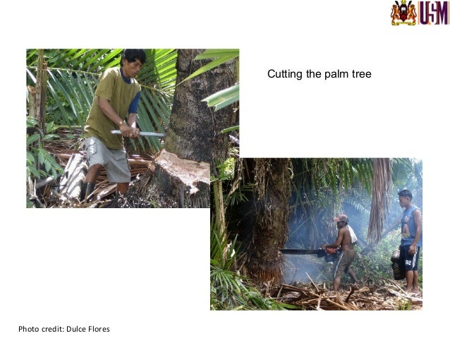 Photo  credit:  Dulce  Flores   Cutting the trunk into 60-100 cm sections