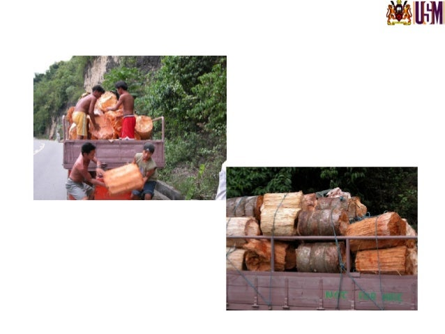The cut logs are transported to the factory via the river (left) The logs in transit to the starch factory (right) Photo ...