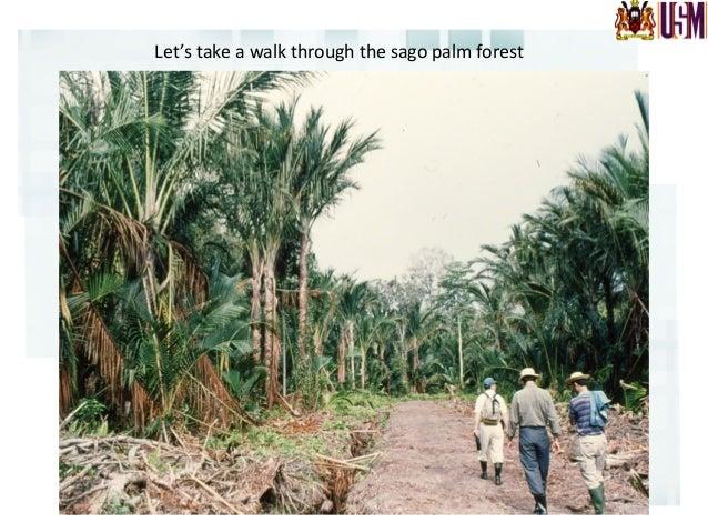 Sago  palm  in  the  wild   Photo  credit:  M.  Okazaki,  A.B.  Loreto,  M.T.P.  Loreto,  M.A. ...