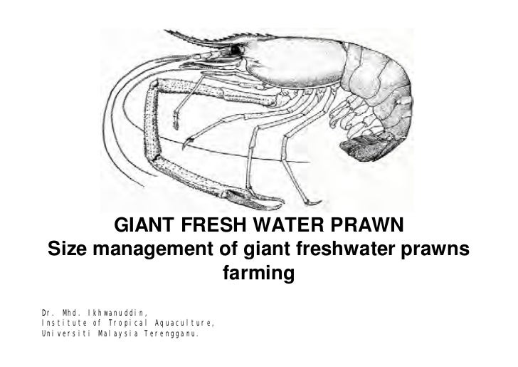 GIANT FRESH WATER PRAWN Size management of giant freshwater prawns                 farmingDr. Mhd. Ikhwanuddin,Institute o...