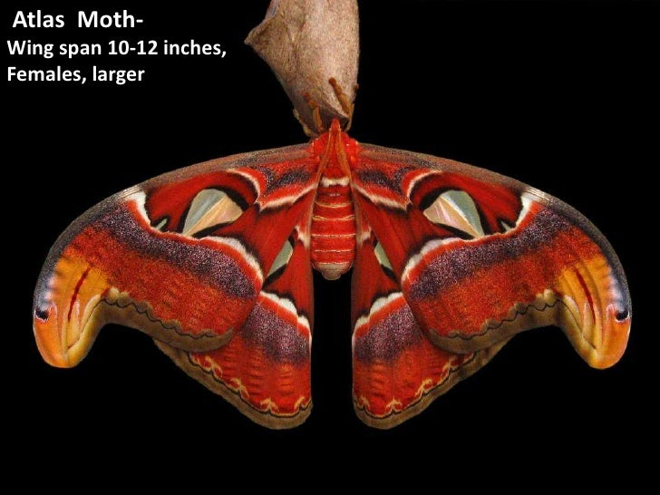 Atlas  Moth-<br />Wing span 10-12 inches,<br />Females, larger<br />