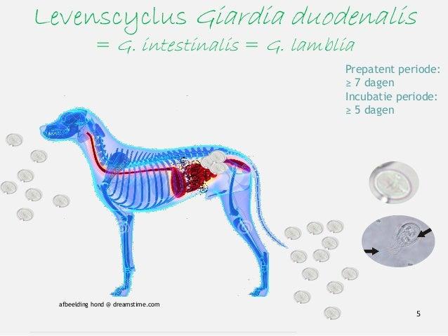 Levenscyclus Giardia duodenalis = G. intestinalis = G. lamblia 5 Prepatent periode: ≥ 7 dagen Incubatie periode: ≥ 5 dagen...