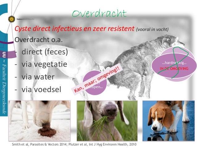 Overdracht Cyste direct infectieus en zeer resistent (vooral in vocht) Overdracht o.a. - direct (feces) - via vegetatie - ...