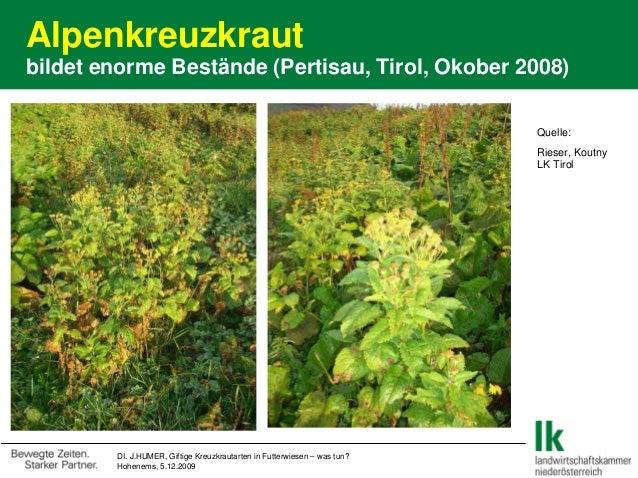 Alpenkreuzkraut bildet enorme Bestände (Pertisau, Tirol, Okober 2008) DI. J.HUMER, Giftige Kreuzkrautarten in Futterwiesen...